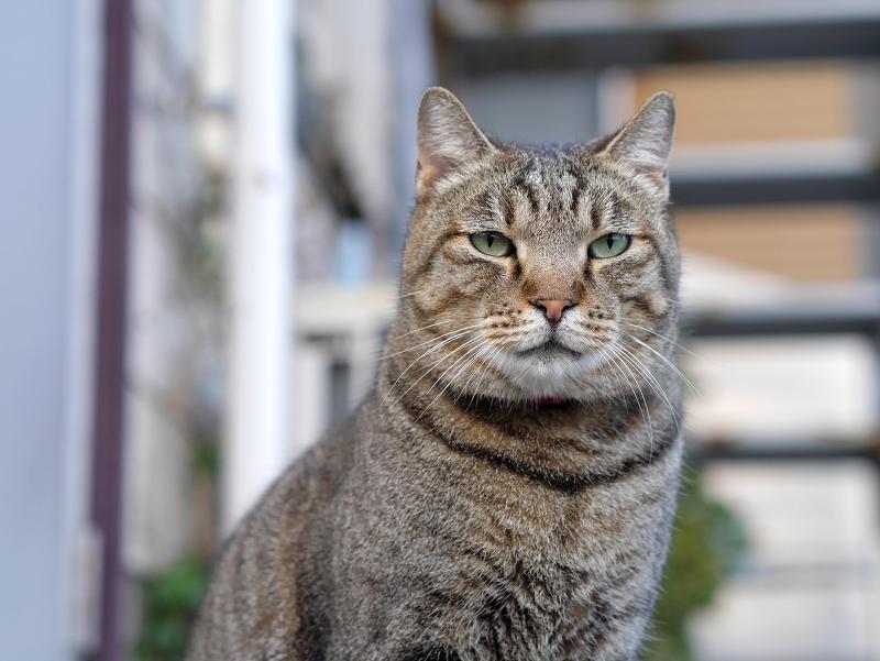 キジトラ猫の正面顔