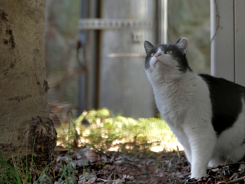 陽だまりから見上げる黒白猫1