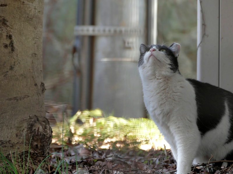 陽だまりから見上げる黒白猫2