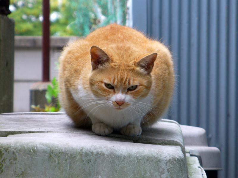 丸い茶白猫
