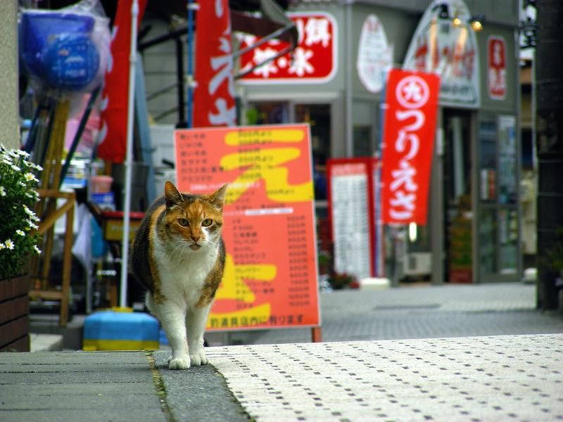路地奥から歩いてくる三毛猫1