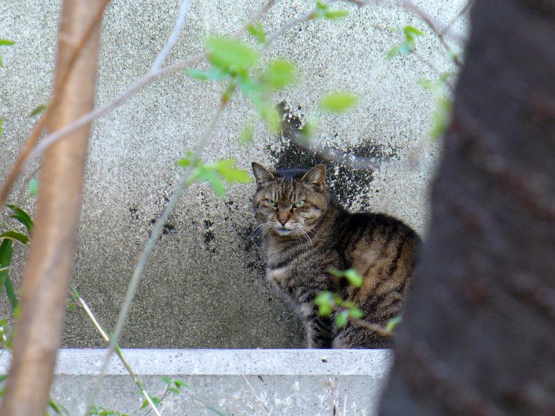 壁の前で睨むキジトラ猫1