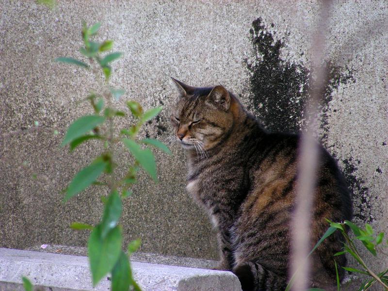 壁の前で睨むキジトラ猫2