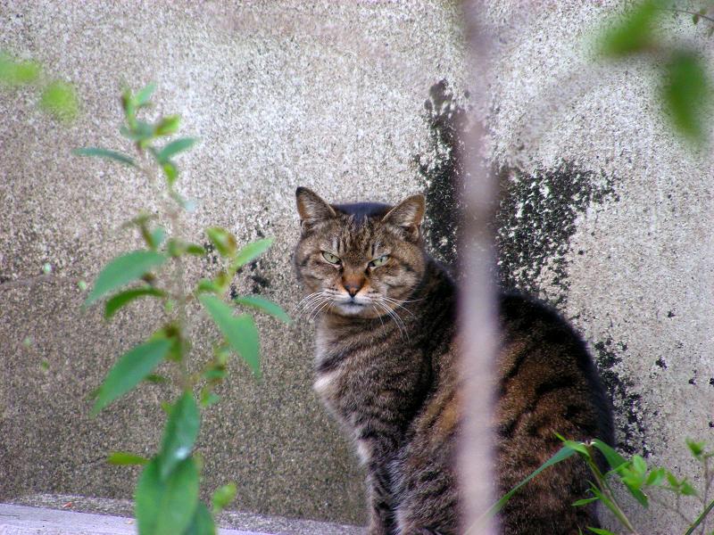 壁の前で睨むキジトラ猫3