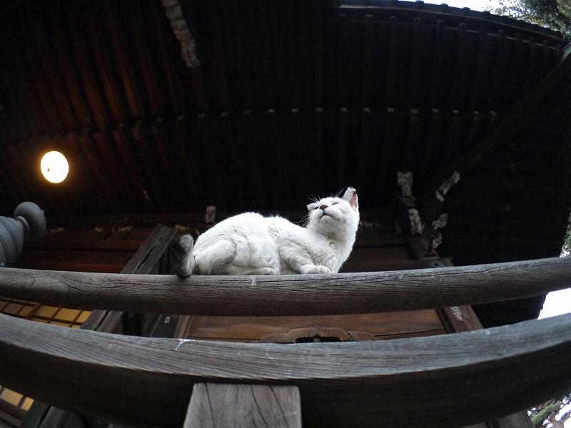 欄干架木に乗ってる白キジ猫