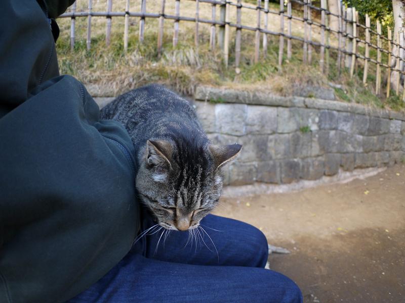 膝に乗ってくるキジトラ猫2