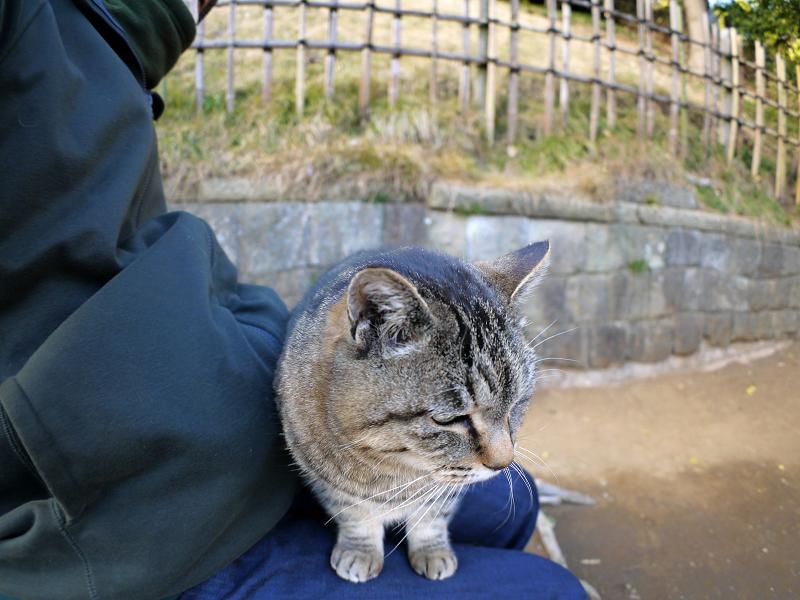 膝に乗ってくるキジトラ猫3