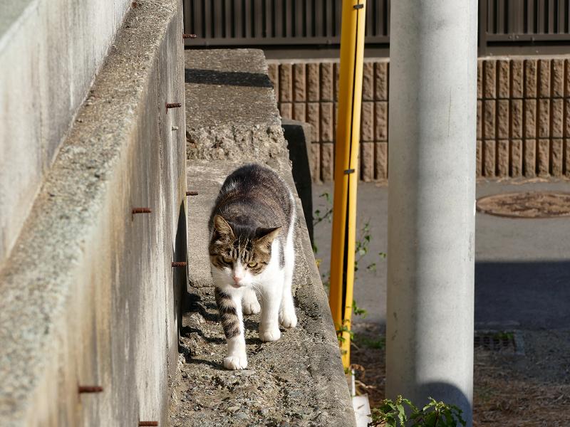 塀の横を歩いてくる白キジ猫1