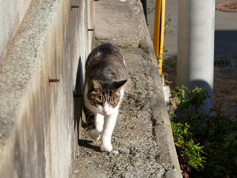 塀の横を歩いてくる白キジ猫2