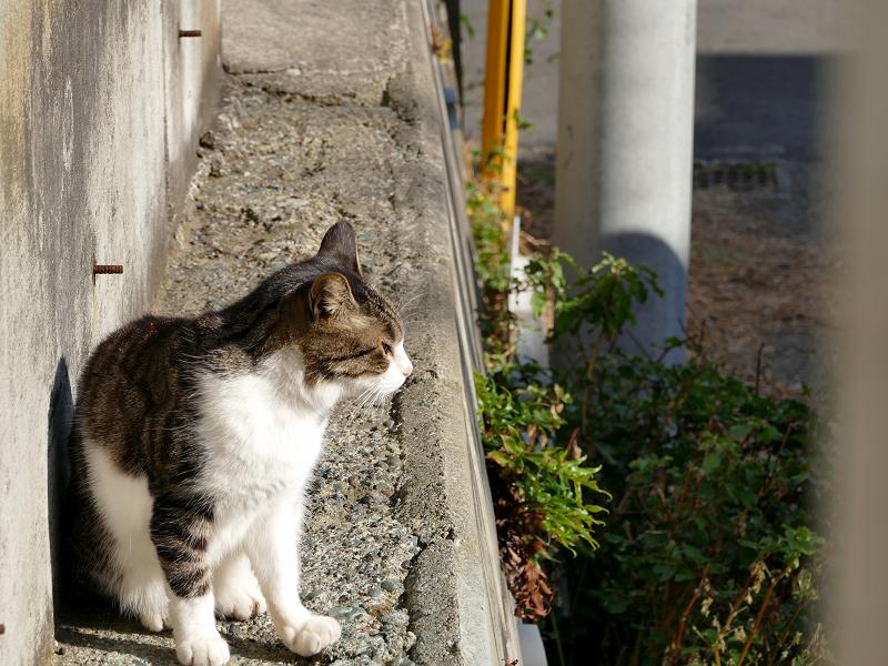 塀の横を歩いてくる白キジ猫3