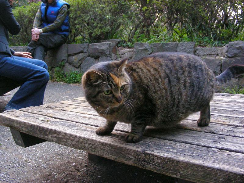 ベンチに乗ったキジトラ猫1