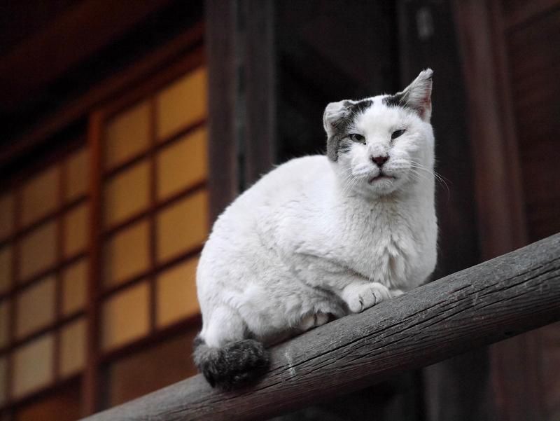 欄干架木に乗ってる白キジ猫1