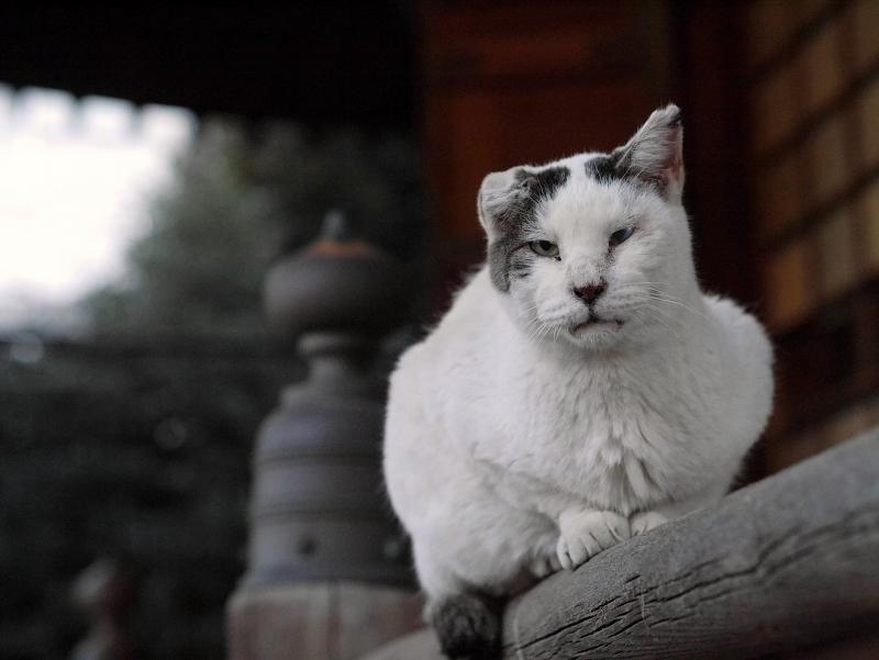 欄干架木に乗ってる白キジ猫2