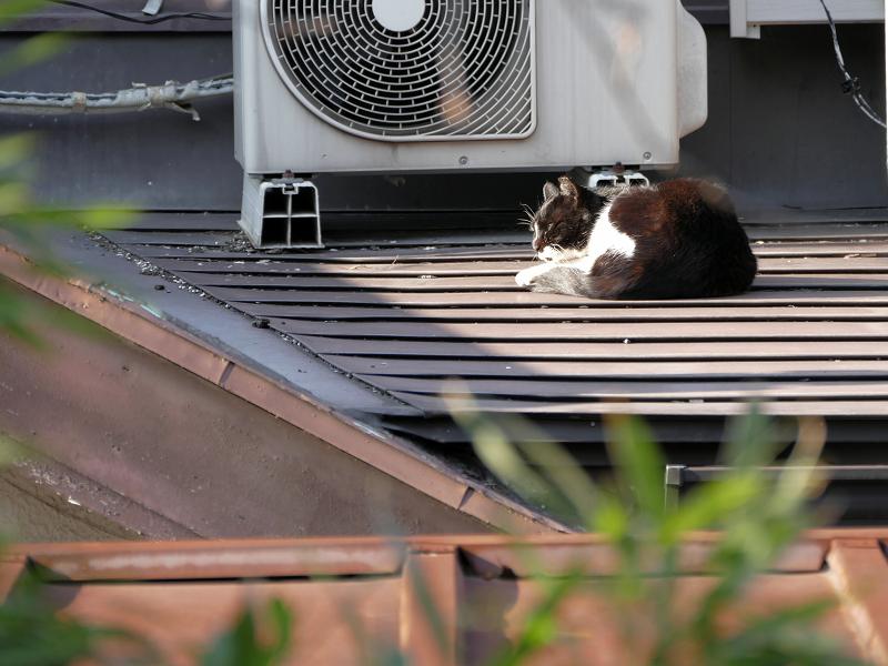 屋根の上の黒白猫1