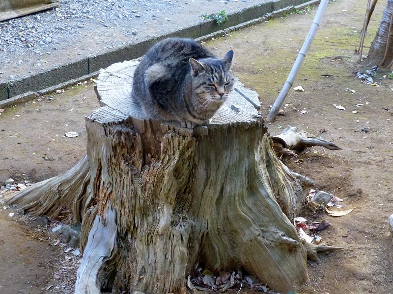 切り株に乗ってるキジトラ猫1