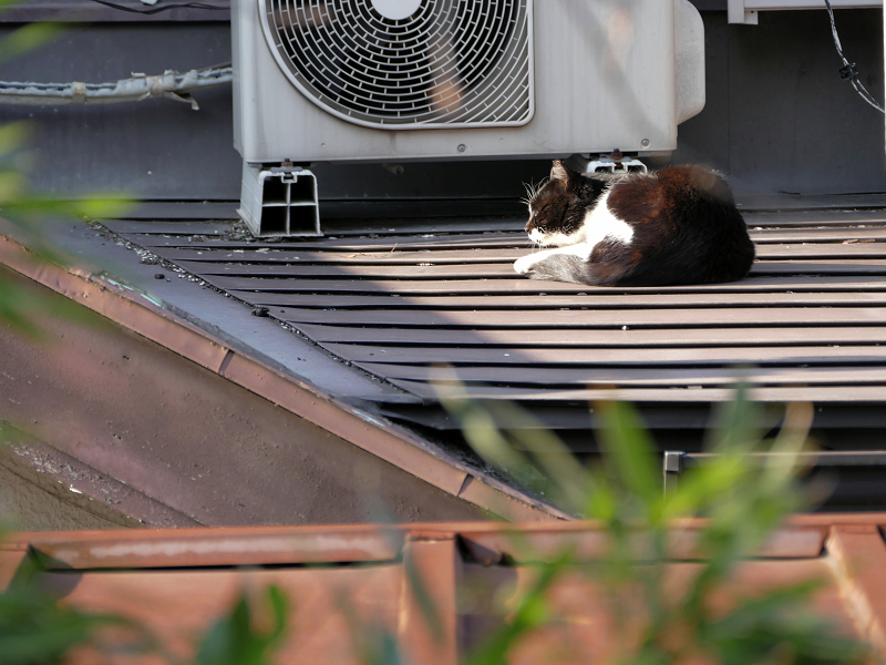 屋根の上の黒白猫2