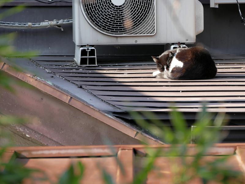 屋根の上の黒白猫3