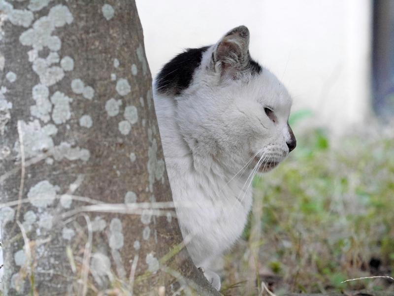 木の陰の白キジ猫1