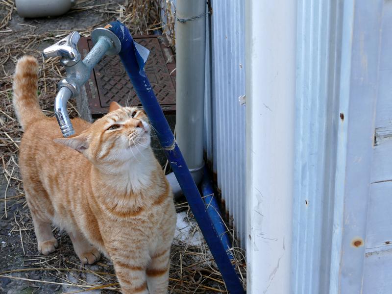 水道管が好きな茶トラ猫1