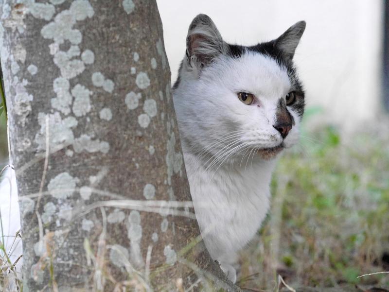 木の陰の白キジ猫2