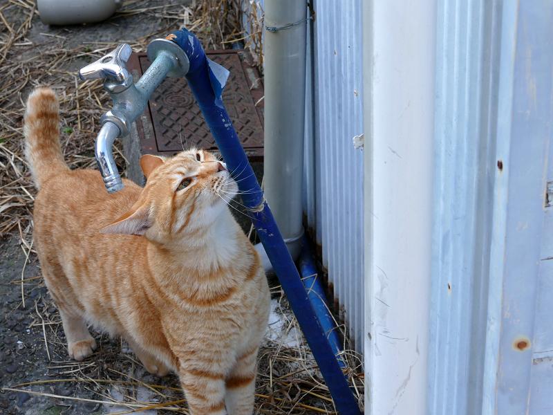 水道管が好きな茶トラ猫2