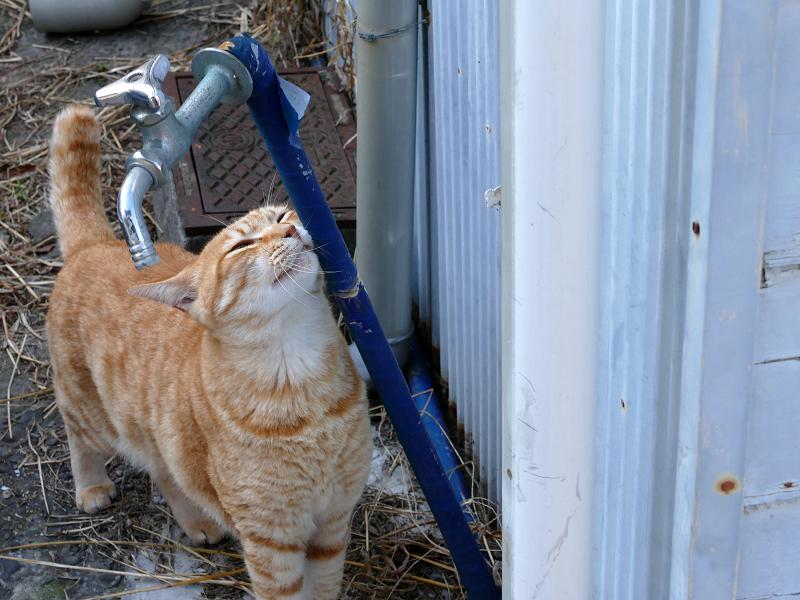 水道管が好きな茶トラ猫3