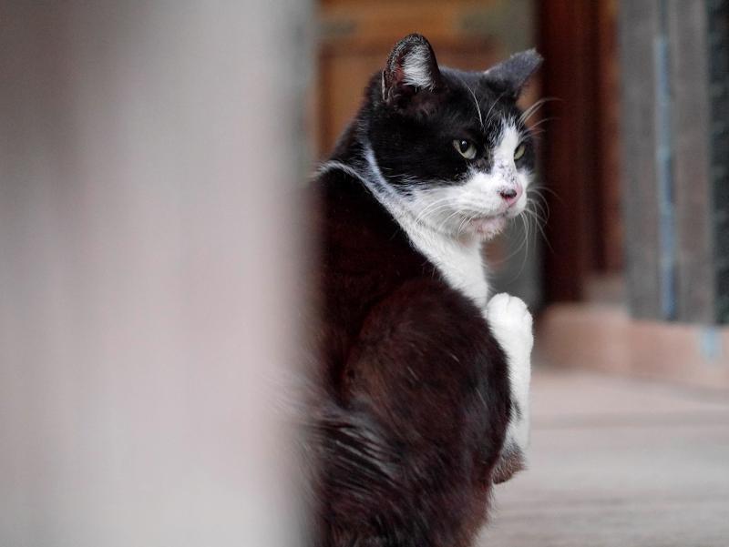 足を噛む黒白猫2