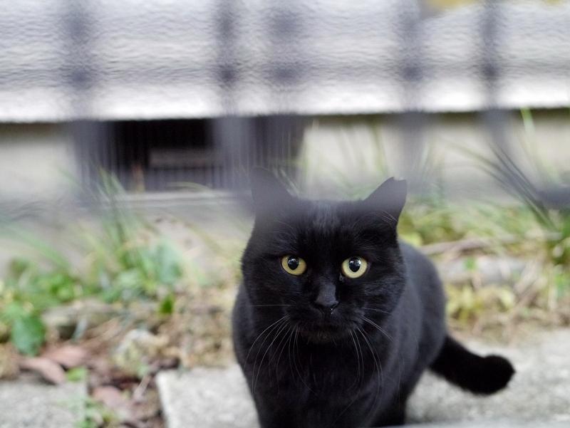 民家敷地の黒猫3