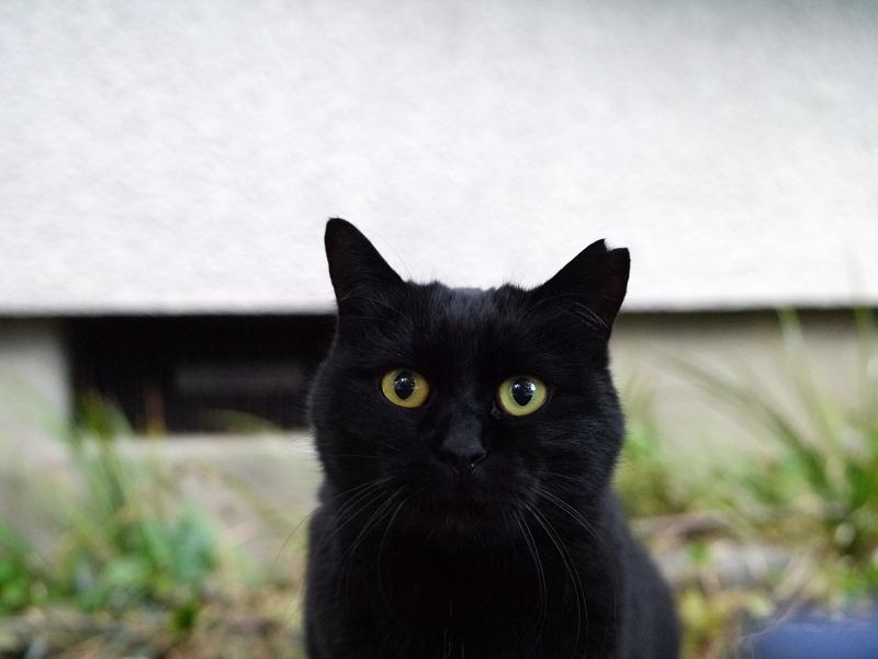民家敷地の黒猫4