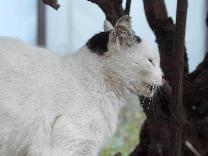 欠伸と伸びの白キジ猫4