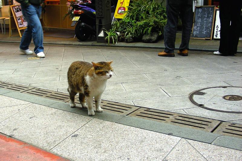 人通りが多い道のキジ白猫1