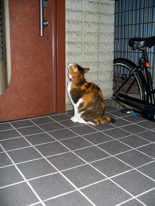ドアを見上げてる三毛猫