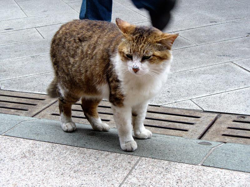 人通りが多い道のキジ白猫2