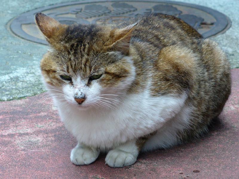 人通りが多い道のキジ白猫3