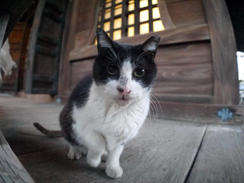 濡れ縁パンチの黒白猫1