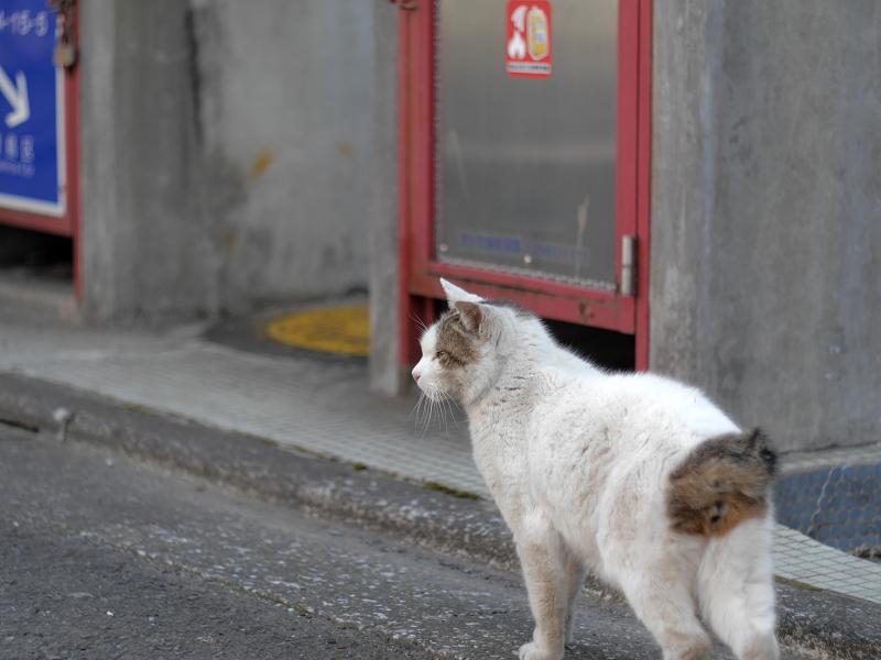 白キジ猫の後ろ姿1