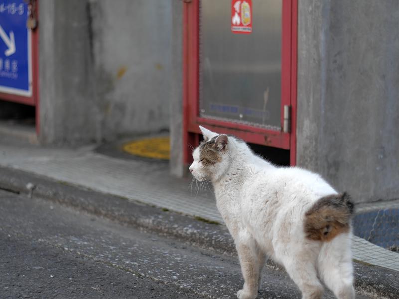 白キジ猫の後ろ姿2