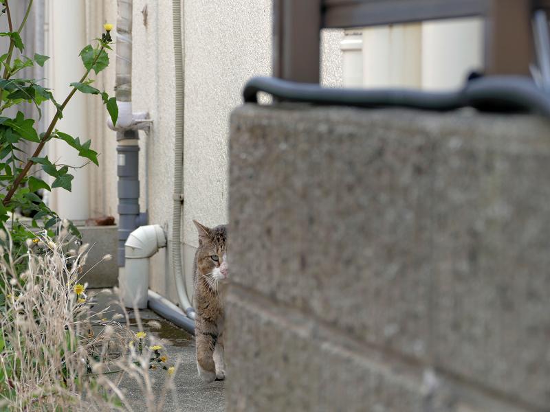 町を歩くキジ白猫1