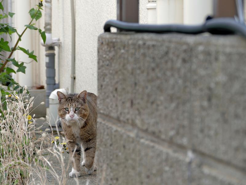 町を歩くキジ白猫3