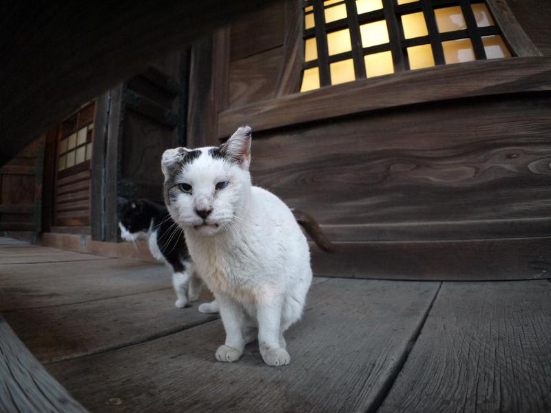 濡れ縁で近づく白キジ猫1