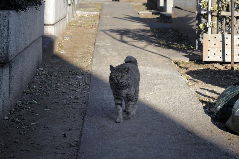 墓苑で呼び止められたサビ柄猫1