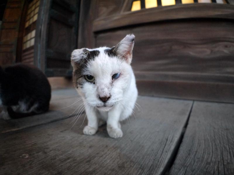 濡れ縁で近づく白キジ猫2