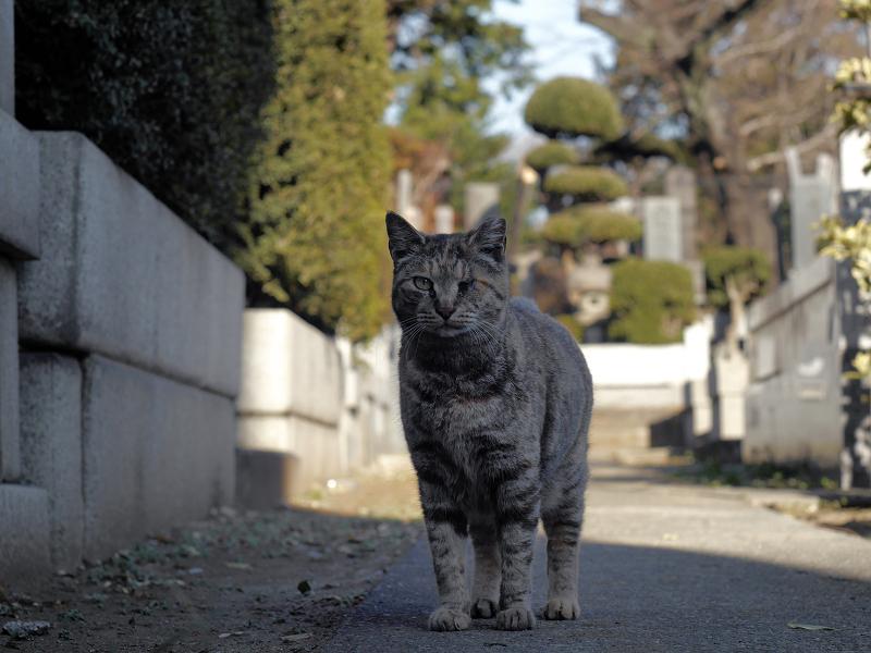 墓苑で呼び止められたサビ柄猫2