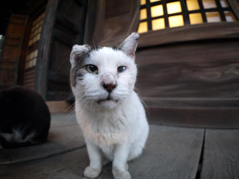 濡れ縁で近づく白キジ猫3