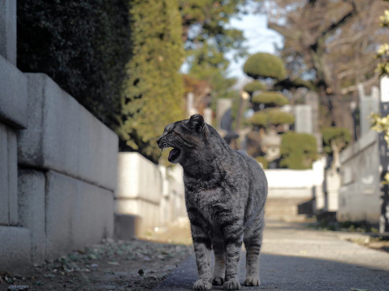墓苑で呼び止められたサビ柄猫3