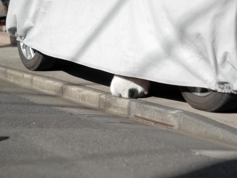 車のカバーから尻が見えている白キジ猫