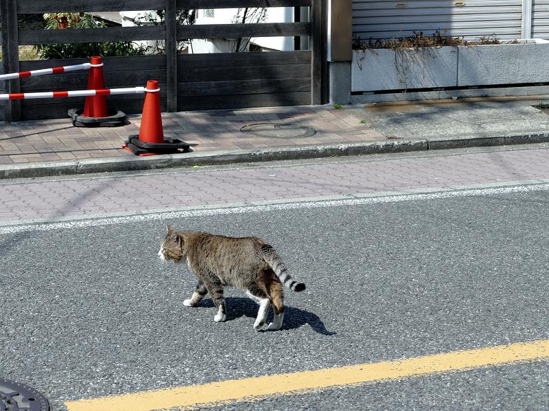 道を歩くキジ白猫3
