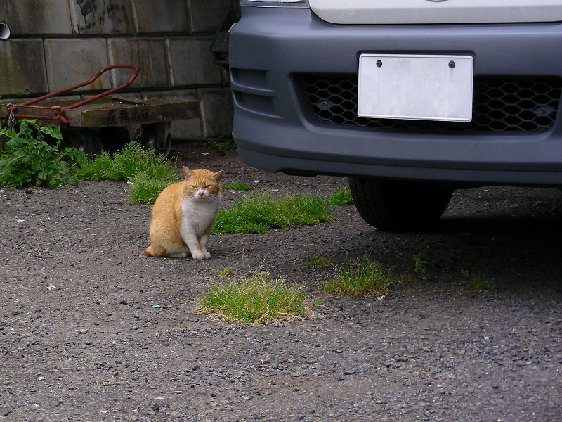 駐車場隅っこの茶白猫1