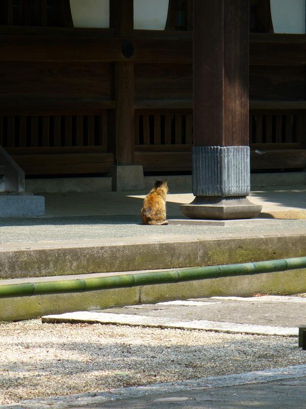 古いお寺のサビ柄猫1