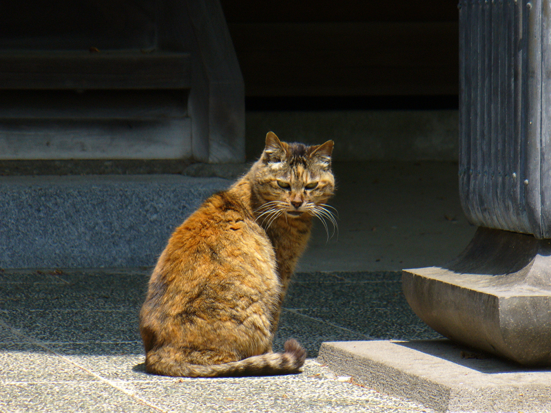 古いお寺のサビ柄猫3